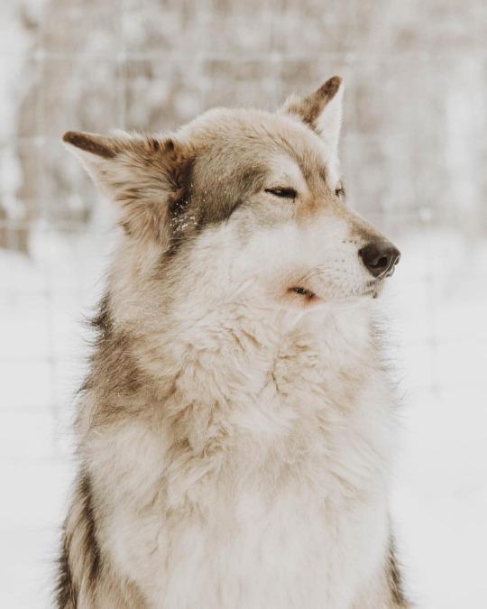 winter-wolf